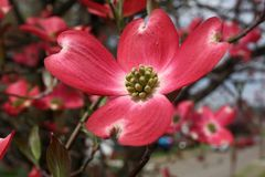 Zbliżenie różowy dereniowy kwiat zdjęcia royalty free