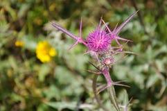 Zbliżenie różowy dojnego osetu kwiat, Silybum marianum Zdjęcia Stock