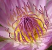 Zbliżenie Różowy lotos Zdjęcie Stock