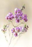 Zbliżenie różowy waxflower zbliżenie Zdjęcie Royalty Free