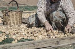 Zbliżenie ręki kobiety zrywanie czupirzą owoc które są na ziemi suszyć po to, aby Zdjęcie Royalty Free