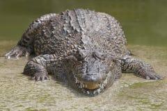 Zbliżenie rozdziały krokodyle obraz royalty free