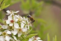 Pszczoły zbliżenie Zdjęcia Stock