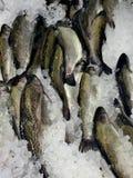 Zbli?enie ryby lamparta kolorystyki, smakowitego i zdrowego jedzenie ?wie?y denny, zdjęcia royalty free