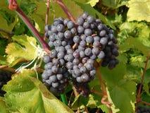 Zbliżenie słodka i dojrzała czarna wiązka winogrona na gałęziastym drzewie zdjęcia royalty free