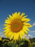 zbliżenie słonecznik Zdjęcia Royalty Free