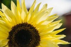 Zbliżenie słonecznik Zdjęcie Royalty Free