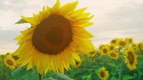 Zbliżenie słonecznik na zmierzchu nieba tle Kwitnący słonecznik na farmfield Lato błyszcząca scena z rolniczym zbiory wideo