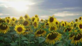 Zbliżenie słonecznik na zmierzchu nieba tle Kwitnący słonecznik na farmfield Lato błyszcząca scena z rolniczym zbiory