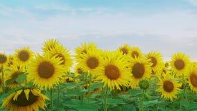 Zbliżenie słonecznik na zmierzchu nieba tle Kwitnący słonecznik na farmfield Lato błyszcząca scena z rolniczym zdjęcie wideo