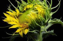 Zbliżenie słonecznik odizolowywający nad czarnym tłem obraz royalty free