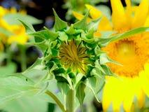 Zbliżenie słonecznika pączek Fotografia Stock