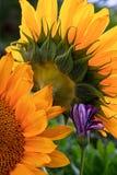 Zbliżenie słoneczniki i mały purpura kwiat Zdjęcie Royalty Free