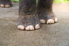 Zbliżenie słonia stopa, Silna słoń stopa, słoń iść na piechotę fotografia royalty free