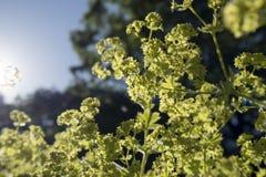 Zbliżenie salopa kwitnie Alchemilla mollis w wodnych kroplach po deszczu Damy ` salopa - perennial ogrodowa ornamentacyjna roślin zdjęcia stock