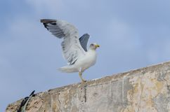 Zbliżenie seagull lądowanie na kamiennej ścianie w historycznym miasteczku Eassouira, Maroko, afryka pólnocna Zdjęcia Stock