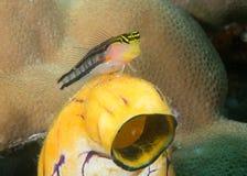 Zbliżenie skąpanie błazenu blenny, Ecsenius bathi, odpoczywa na usta morza squirtali obraz stock