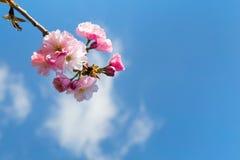 Zbliżenie smakołyk menchii wiosny okwitnięcie obraz royalty free