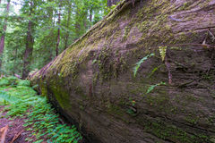Zbliżenie spadać Redwood drzewo Obraz Stock