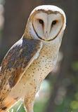 Zbliżenie Stajni Sowy Ptak drapieżny Fotografia Stock
