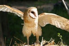 Zbliżenie Stajni Sowy Ptak drapieżny z Skrzydłami Rozprzestrzeniającymi Obraz Royalty Free