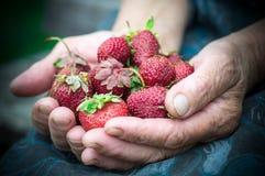 Zbliżenie stara babcia wręcza trzymać wiele świeże truskawki Żeński dorosły pokazuje garść czerwonym jagodom truskawki obrazy stock