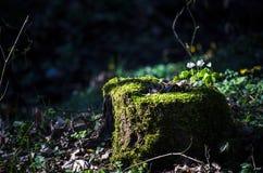 Zbliżenie stary fiszorek w lasowym mech na drzewnym fiszorku Rośliny na fiszorku obraz royalty free