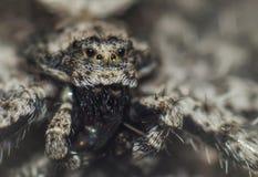 Zbliżenie stary przyglądający pająk fotografia royalty free