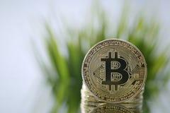 Zbliżenie stawia czoło kamery opposite zielona trawa Złoty Bitcoin Wirtualny anonimowy pieniądze i szybki kursowy przyrost obraz stock