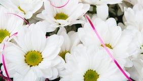 Zbliżenie stokrotka kwiaty Obraz Stock