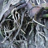 Zbliżenie Storczykowy kwiatu korzeń Zdjęcia Royalty Free