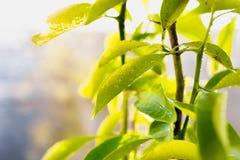 Zbliżenie strzał świezi zieleń liście zakrywający rosą fotografia stock