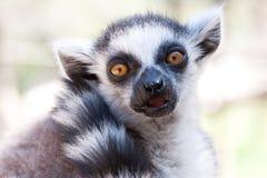 Zbliżenie strzał Ringowy Ogoniasty lemur Obrazy Stock
