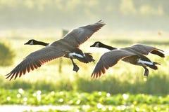 Zbliżenie strzelał Kanada gąsek latać zdjęcie stock