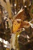 Zbliżenie strzelający kukurudza Fotografia Stock