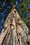 Zbliżenie strzelający w górę drzewnego bagażnika Zdjęcie Royalty Free