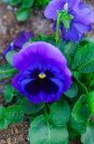 Zbliżenie stubarwni delikatnie błękitni kwiaty pansies fotografia royalty free