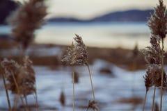 Zbliżenie sucha roślina w polu blisko jeziora z śniegiem na nim obraz stock