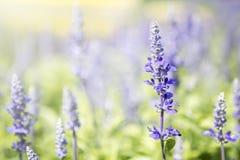 Zbliżenie szałwii Merleau Błękitny kwiat nad zamazanym kwiatu ogródu tłem Fotografia Royalty Free