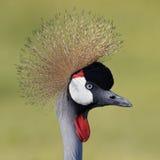 Zbliżenie szarość Koronowany żuraw zdjęcie royalty free