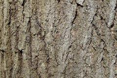 Zbliżenie szorstka barkentyna dojrzały wschodniego szaleju drzewo fotografia royalty free