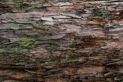 Zbliżenie tekstura drzewna barkentyna Wzór naturalny drzewnej barkentyny tło Szorstka powierzchnia bagażnik Zielony mech i liszaj obrazy royalty free