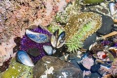 Zbliżenie tidepool na Oregon wybrzeżu obraz stock