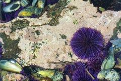Zbliżenie tidepool na Oregon wybrzeżu fotografia stock