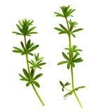 Zbliżenie traw gałązki z zielonymi liśćmi Zdjęcie Stock