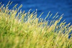 Zbliżenie traw halms przed zmrokiem - błękitny ocean, Jeju wyspa, Południowy Korea obrazy stock