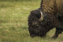 Zbliżenie twarz żubr podczas łasowanie trawy przy Yellowstone zdjęcie stock