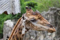 Zbliżenie twarz żyrafa w zoo Obraz Stock