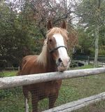 Zbliżenie twarz Belgijski szkicu koń Fotografia Royalty Free