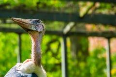 Zbli?enie twarz marabuta bocian, tropikalny ptasi specie od Afryka, popularny zoo zwierz? obrazy stock